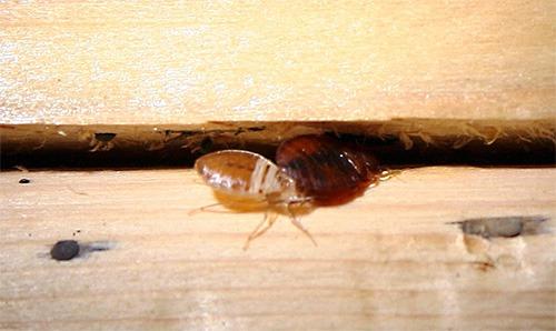 Клопы селятся и размножаются в половых щелях