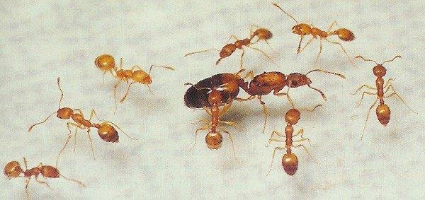 Обыкновенные рыжие муравьи