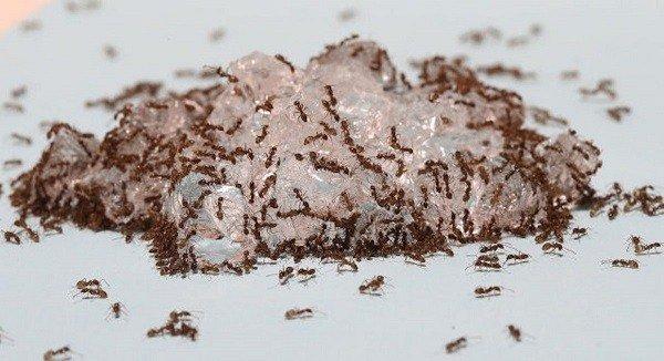 Приманка из борной кислоты для муравьев