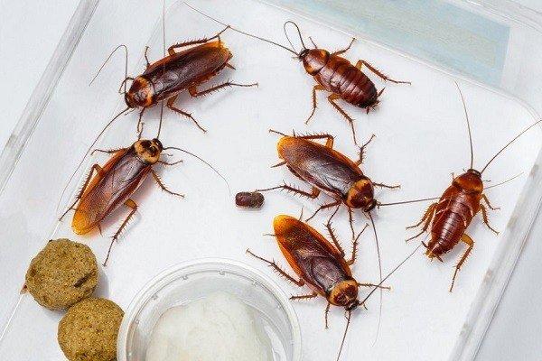 Борная кислота - враг тараканов