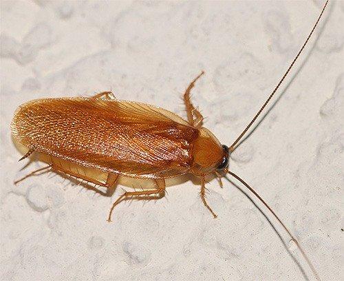 Так выглядит взрослый рыжий таракан