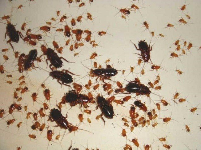 Тараканы очень быстро размножаются