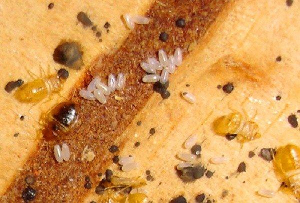 Личинки и взрослые особи клопов в гнезде