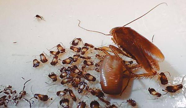 Самка рыжего таракана и только что вылупившиеся маленькие тараканы