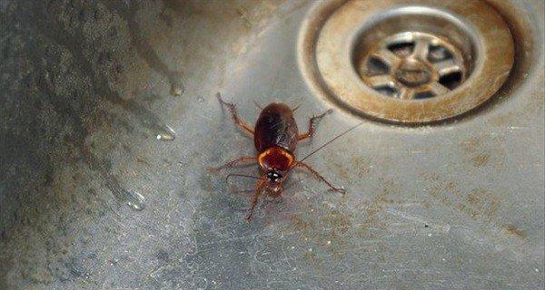 Тараканы не могут долго жить без воды