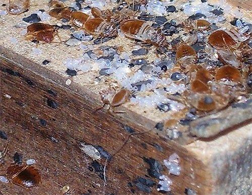 Гнездо клопов - видно множество яиц, отложенных самкой
