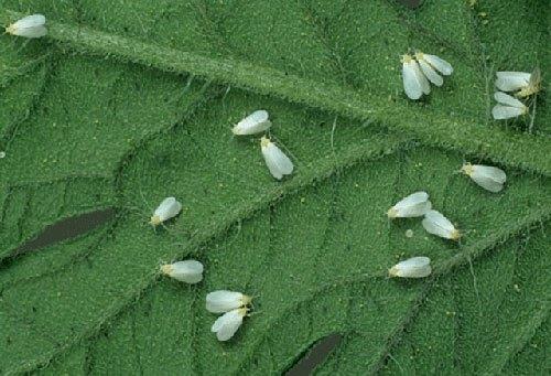 Белая цветочная мошка поруда