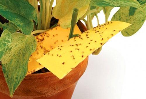Липкие ловушки - надежный способ избавиться от взрослых мошек