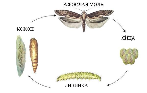 Жизненный цикл картофельной моли