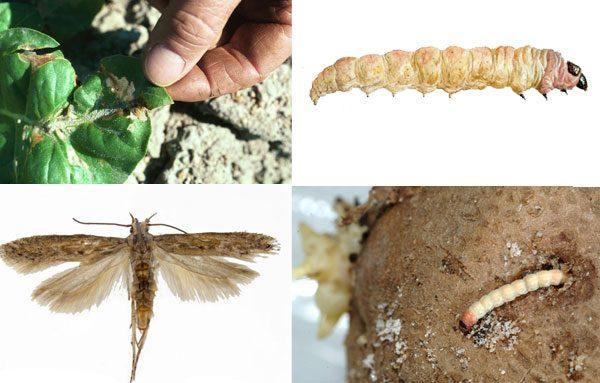 Картофельная моль вредит всему растению - от корней до кончиков листьев