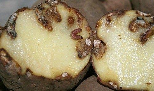 Поврежденный картофельной молью клубень картофеля