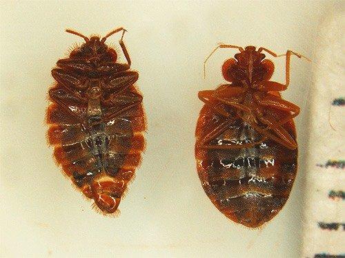 Кукарача – средство от клопов и тараканов, инструкция по применению