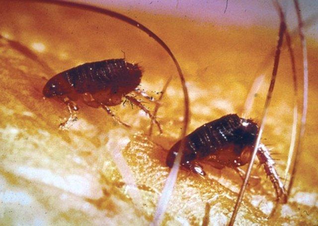 Блохи очень маленькие, но их укусы приносят много неприятностей