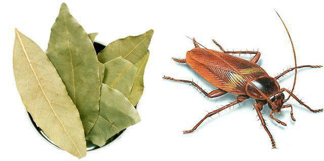 Тараканы не переносят запах лаврового листа
