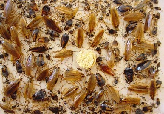 Клеевая ловушка очень эффективна в борьбе с тараканами