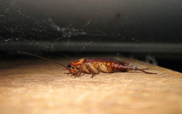 """От контакта с """"Машенькой"""" тараканы неминуемо гибнут"""