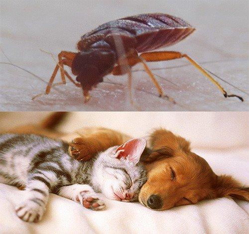 Животные могут стать переносчиками клопов