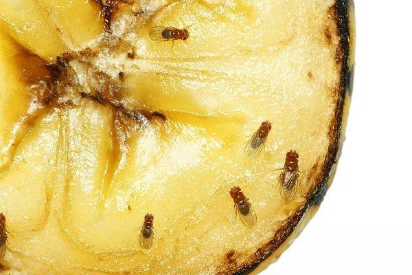 Дрозофил сильно привлекает запах гниющих фруктов