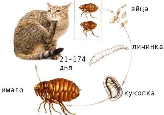 Цикл размножения блохи колеблется в зависимости от внешней среды