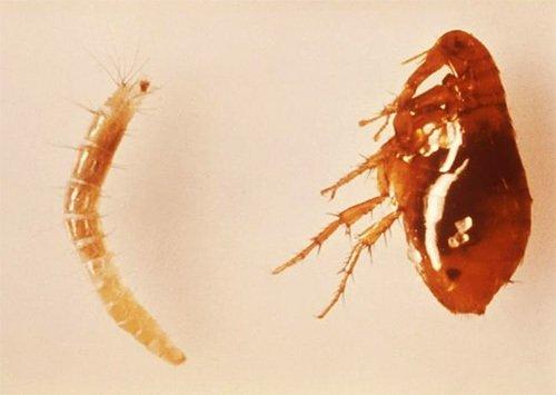 Взрослая блоха (справа) и ее личинка (слева)