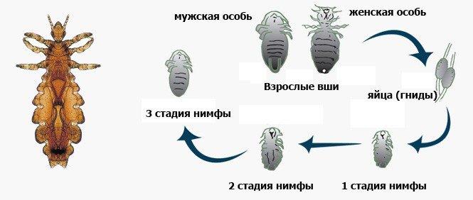 stadiya-razvitiya-vshej