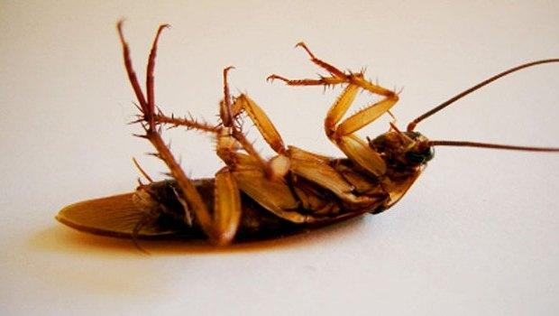 Тараканы сразу гибнут от контакта с инсектицидом