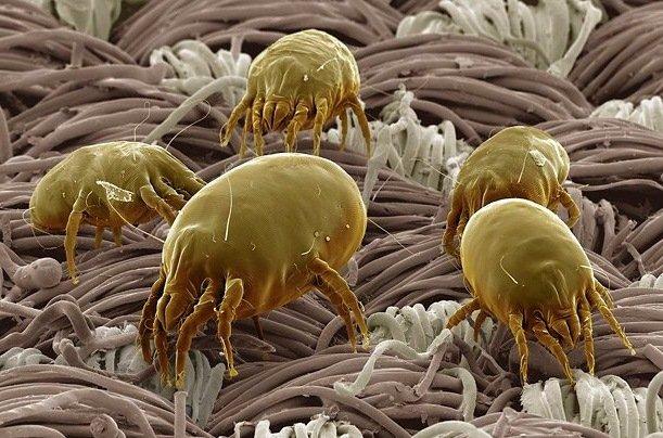 Увеличенный под микроскопом постельный клещ
