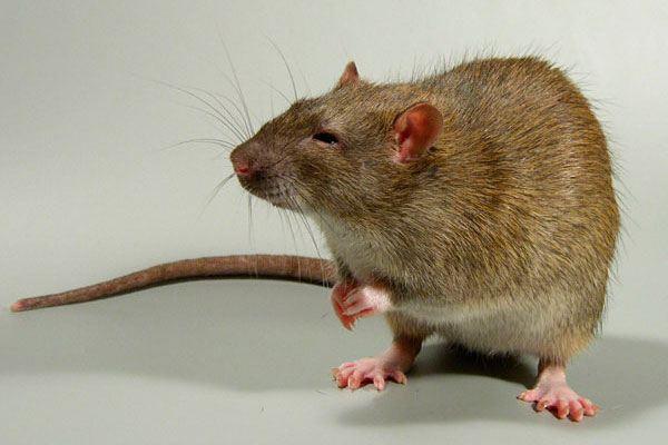 Крысы и мыши из подвала - переносчики земляных блох