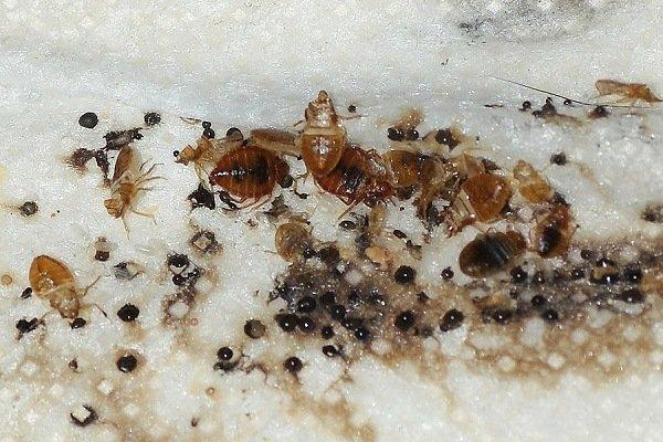 Взрослые клопы, их личинки (нимфы) и яйца