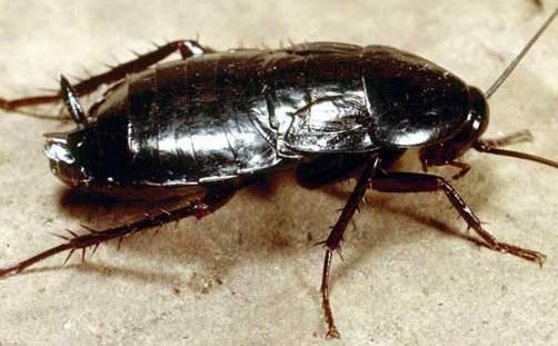Черный кухонный таракан