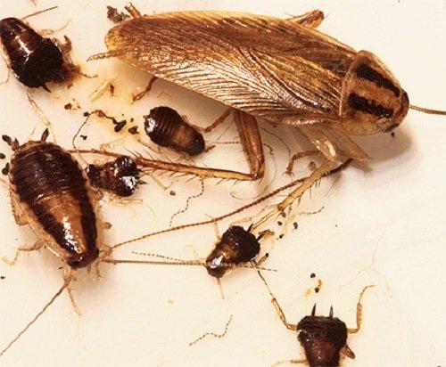 Рыжие тараканы и только что вылупившиеся личинки