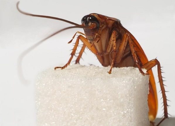 Тараканы могут голодать больше месяца