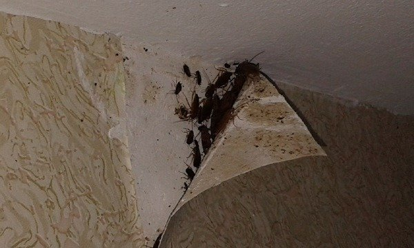 Тараканы под обоями