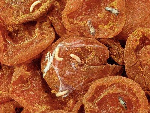 Червячки фруктовой моли