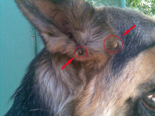Клещи, присосавшиеся возле уха собаки