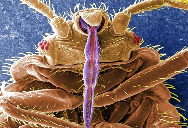 Ротовой аппарат постельного клопа под микроскопом