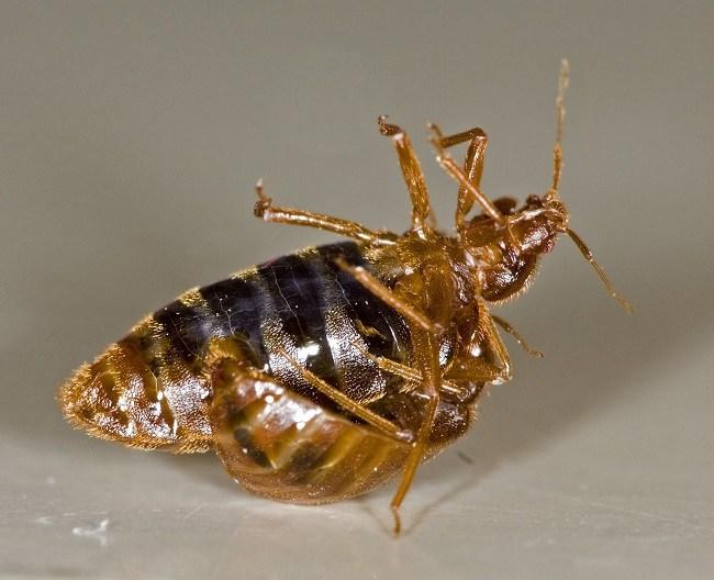 Самец прокалывает брюшину самки, оплодотворяя ее