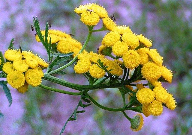 Пижма обыкновенная имеет запах, который не переносят бабочки моли