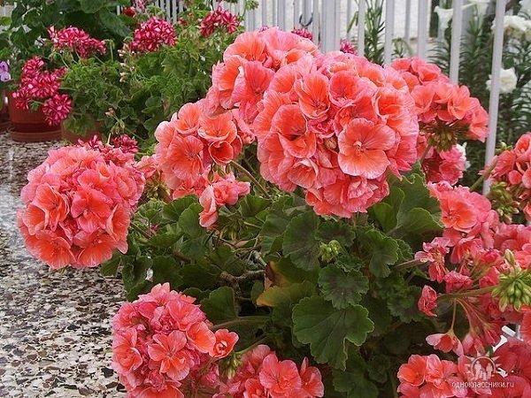 Герань - красивое и полезное растение