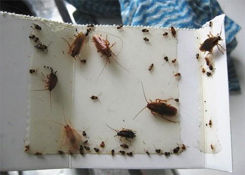 Липкую ловушку для тараканов сделать очень просто
