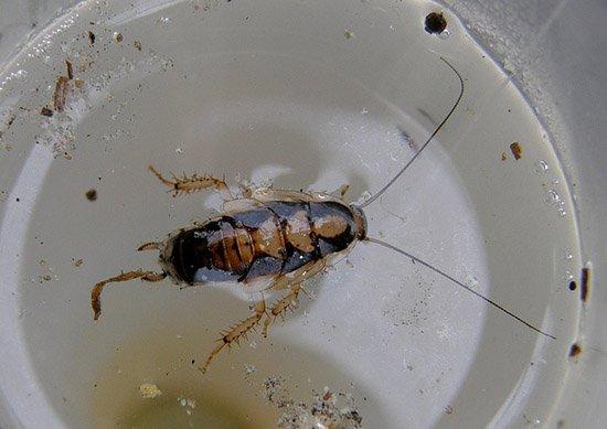 Таракан не сможет выбраться из клея