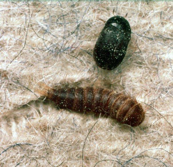 Личинка коврового кожееда и самка насекомого