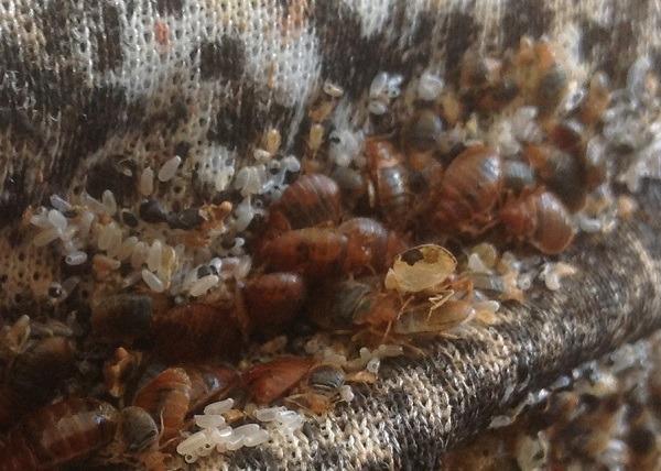 Гнездо, кишащее клопами, личинками и яйцами
