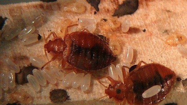 Взрослые клопы и их личинки (нимфы)