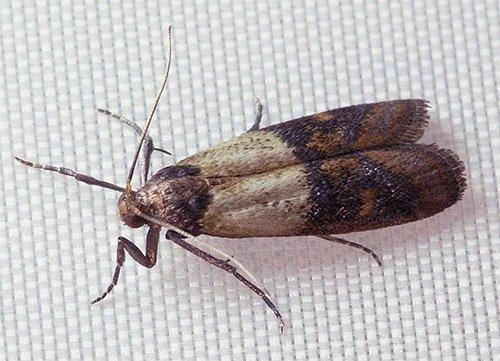 Мучная бабочка