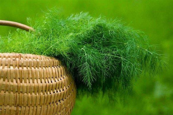 Запах свежего укропа поможет отпугнуть моль
