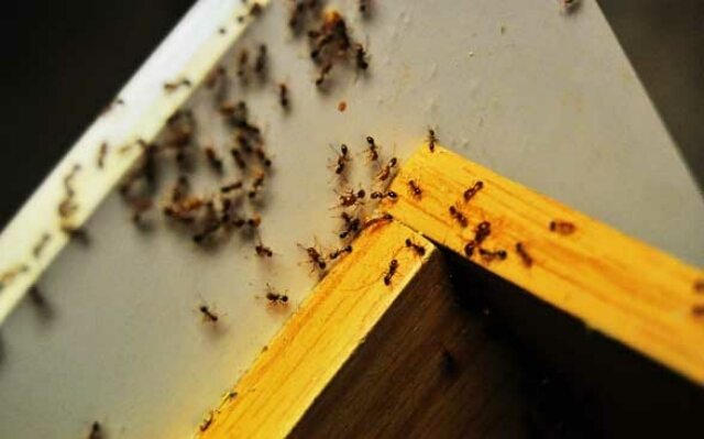 Фараоновы муравьи под кухонным столом