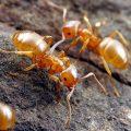 Фараоновы муравьи в квартире