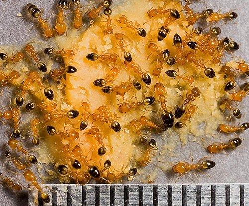 Фараоновы муравьи очень маленького размера - около 2-х мм