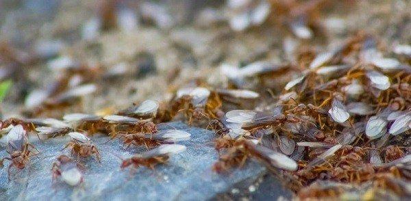 Появление муравьев с крыльями - сигнал к немедленной борьбе с вредителями